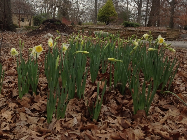Daffodils at The Downing Museum