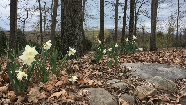Daffodils at The Downing Museum with landscape in the background.