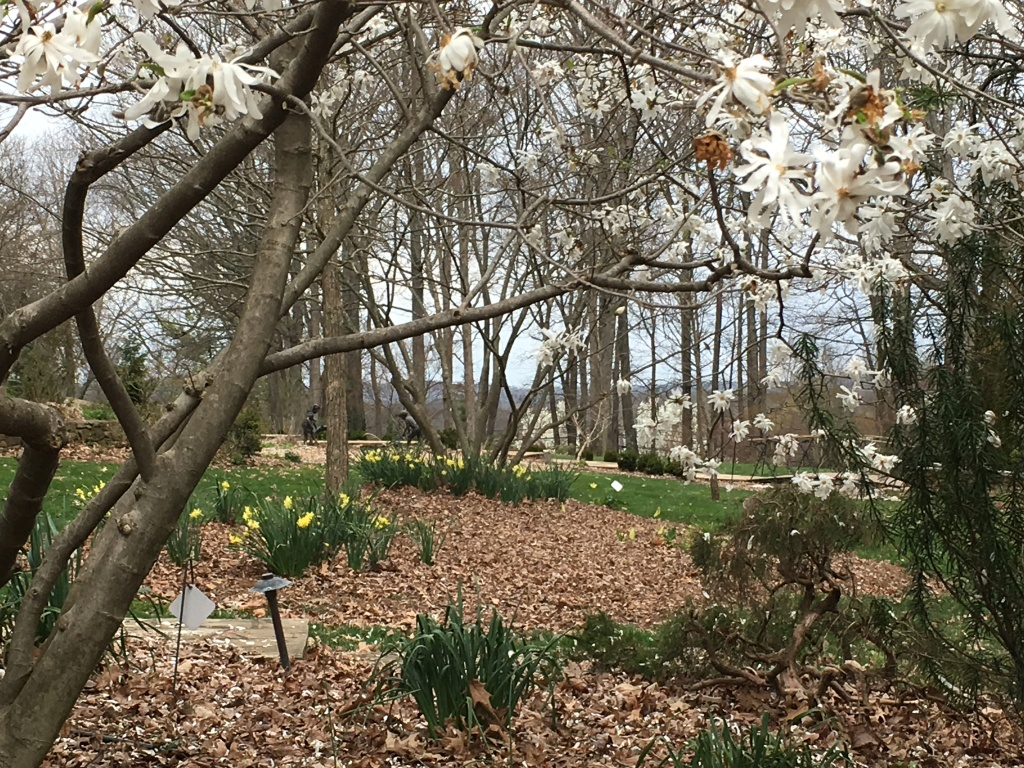 Photo of flowering tree and daffodils at arboretum.